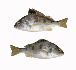 Fresh LINED SILVER GRUNT fish isolated on white background.