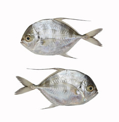 Fresh Bumpnose trevally or Longfin trevally fish isolated on white background.