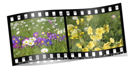Frühling, Primeln, Himmelschlüssel, Filmstreifen
