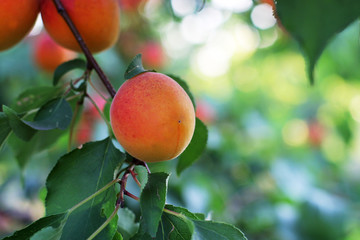 Mature apricots on the tree