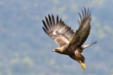 Garden Poster Eagle Golden Eagle in Flight