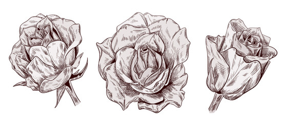 Set of roses: brown (sepia) monochrome flowers on white background. Botanical illustration for design, hand draw sketch in engraving vintage style, etching, stamp for embossing, vector
