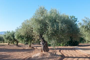 Spanish centenaries olive trees