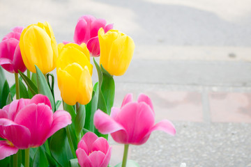 Beautiful tulip flowers in the garden with copy space