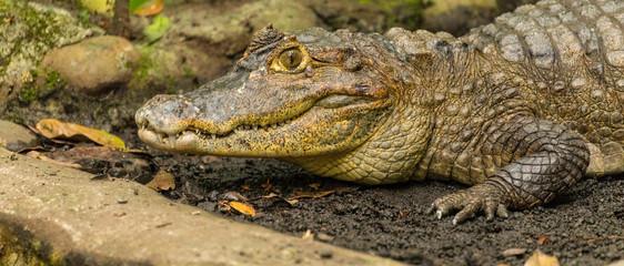 Fotorolgordijn Krokodil Nahaufnahme Krokodil
