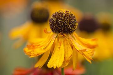 Sommerzeit - Gelbe Sonnenbraut (Helenium)