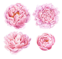 Set of watercolor peonies isolated on white background.