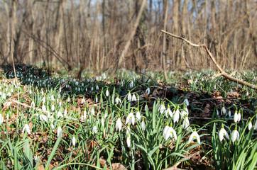 Schneeglöckchen (Galanthus) auf dem Waldboden