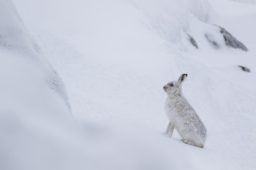 Mountain hare, Lepus timidus, cleaning, eating, running on a sunny day in the snow during winter in the cairngorm national park, scotland