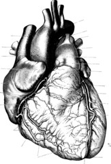 Vintage Heart Vector Illustration from Anatomischer Atlas 1910