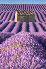 Lavender fields in Valensole with stone house and trees in morning Summer light. Plateau de Valensole, Alpes de Hautes Provence, France