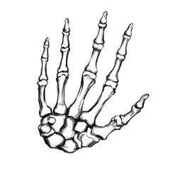 Hand drawn hand bones. Anatomical drawing. Human skeleton hand.