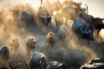 Photo sur Aluminium Buffalo Group of Thai buffalo running