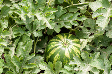 Watermelon plant with fruit
