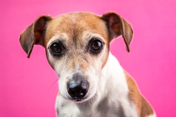 Sad dog Jack Russell terrier face on pink background