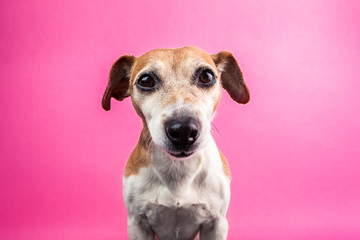Funny cool pet dog face smiling on pink background. wide-angle lens effect. Fun party mood pup friend