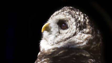 Close-up portrait of a barred owl on a black background