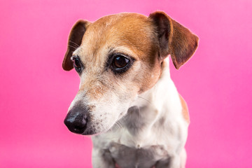 Lovely dog Lack Russell terrier portrait on pink background. Party mood colors. Let's have fun!