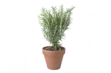 rosemary in terra cotta  pot isolated on white background