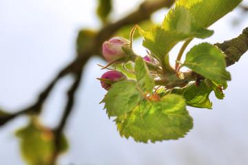 Wonderful Apple blossom in spring time. Lüneburg Heath, Germany
