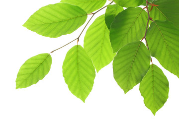 Beech leaves isolated on white background, , including clipping path.