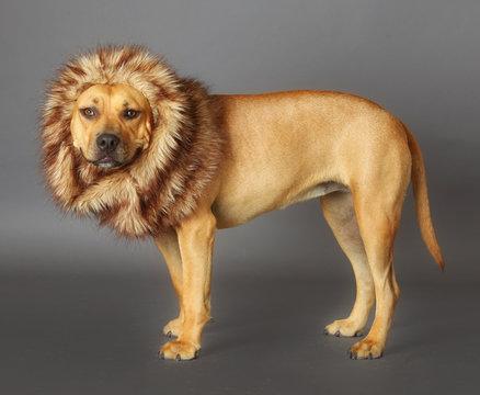 dog dressed like a lion