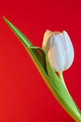blühende weiße Tulpe mit rotem Hintergrund