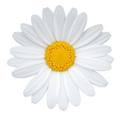 Poster Madeliefjes Daisy (Margerite) isolated on white background, including clipping path.