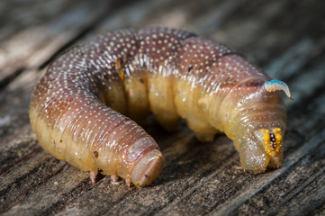 A single caterpillar of a lime hawkmoth