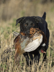 A Black Labrador Retriever with a rooster pheasant in South Dakota