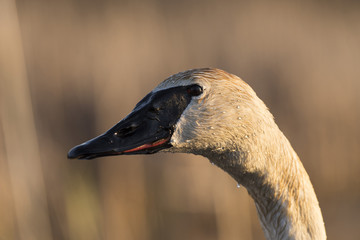 A close up of a Trumpeter Swan in the spring