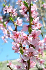 Pink blossom of a peach tree on a warm sunny day.
