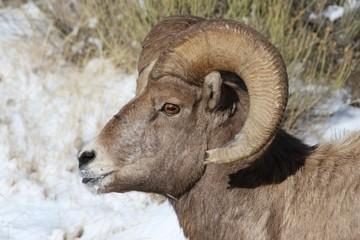 Bighorn Sheep in Grand Teton National Park in Winter