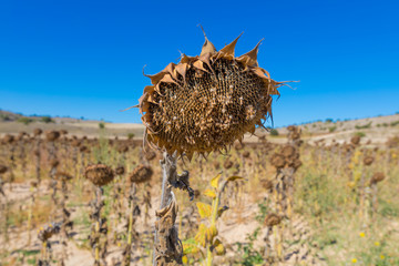 closeup of field of dry or withered sunflower in winter or autumn season, in Castile, Spain, Europe