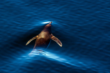 Emperor penguin chick and swim in the water. Close-up. Antarctic