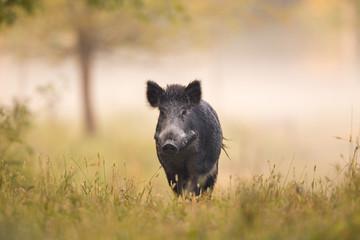 Wild boar in forest in fog