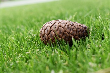 A newly born pinecone thrown from a tree by a squirrel