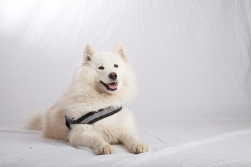 SAMOYEDE STUDIO PHOTO SHOOTING CHIEN ANIMAUX