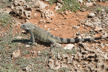 Large Iguana Hiding Withing Desert Rocks