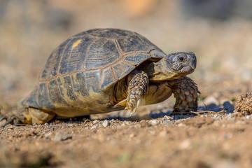 Marginated tortoise walking