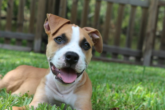 Happy Pit Bull / American Staffordshire Terrier Puppy Dog in the Grass