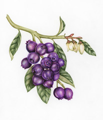 Illustration drawing style of blueberry