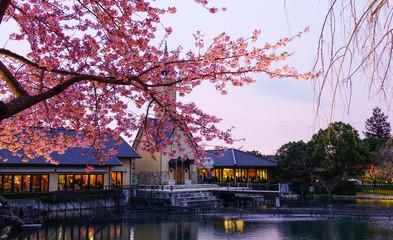Night scene of cherry blossom