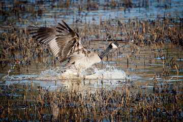 Goose makes splashy landing.