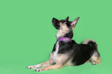 Funny dog mongrel on green background