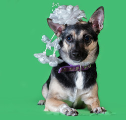 Funny dog mongrel with a bow on his head on green background