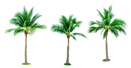 Set of coconut tree isolated on white background used for advertising decorative architecture. Summer and beach concept. Tropical palm tree.