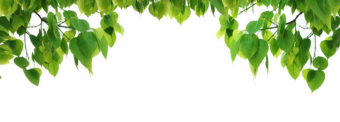 Bodhi green leaf tree isolated on white background. Wall mural