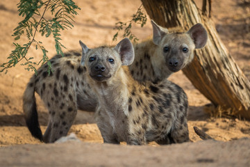 The spotted hyena (Crocuta crocuta) younger