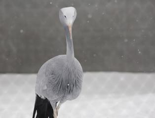 Райский журавль, или журавль Стэнли. Blue (paradise, Stanley's) crane.